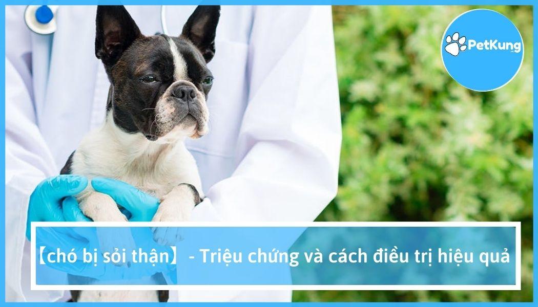 Chó bị sỏi thận, sỏi bàng quang   triệu chứng   cách điều trị