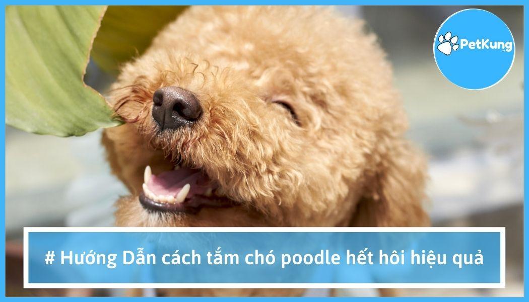 【hướng dẫn】- cách tắm chó poodle hết hôi hiệu quả